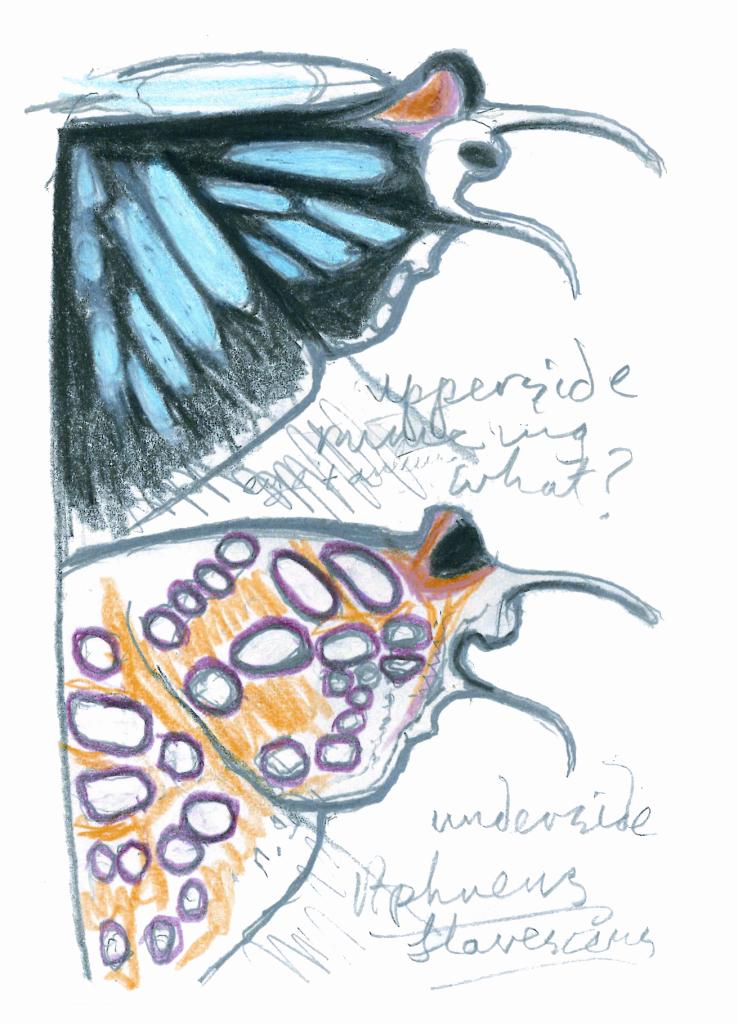 farfalla-schizzo-kingdon-muse