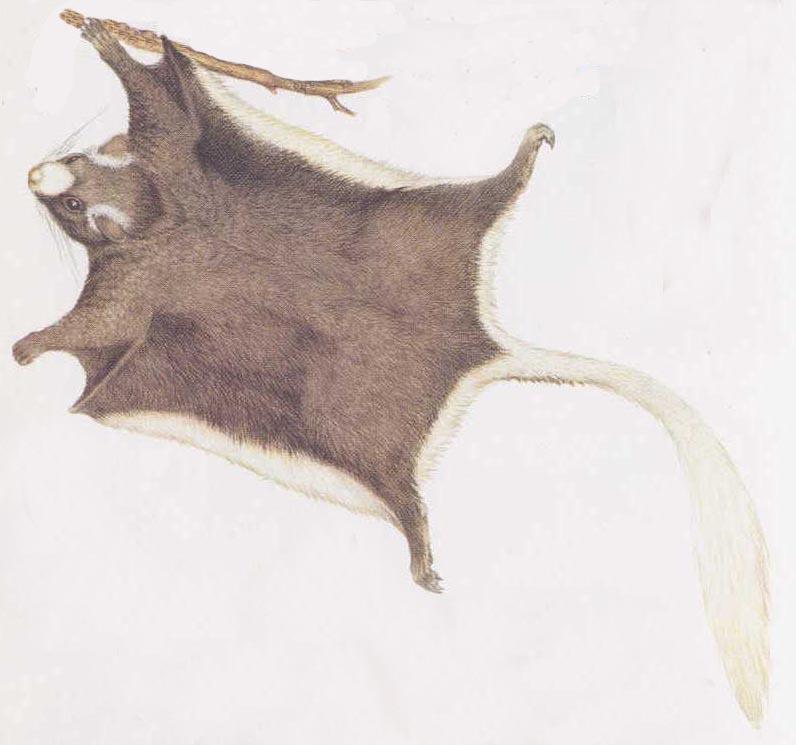 scoiattolo-volante-kingdon